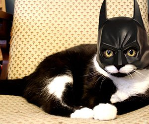 cat, batman, and funny image