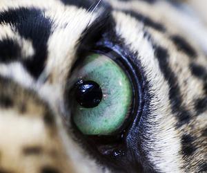 animal, eye, and tiger image