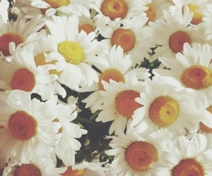 daisy, orange, and plant image