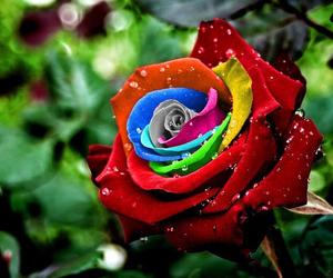 amazing colourful roses image