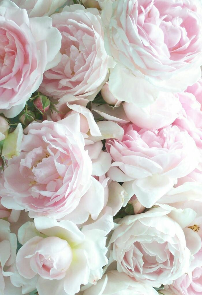 Pink White Rose Wallpaper On We Heart It
