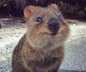 animal, cute, and quokka image