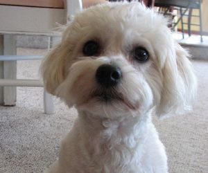 dog, pet, and havanese image