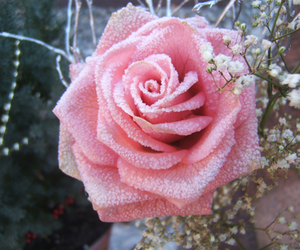 rose and frozen image