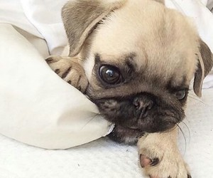 pug, cute, and adorable image