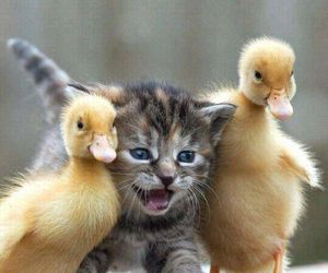 cat, animal, and duck image