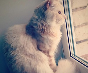 cat, maine coon, and nice image