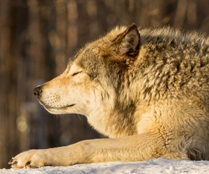 Timber, wolf, and wild image