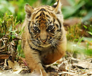 baby, tiger, and cub image