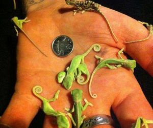 chameleon, baby, and tiny image