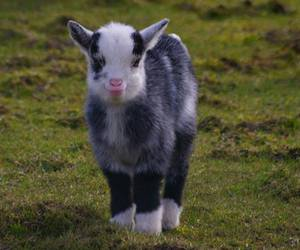 goat, baby, and animal image