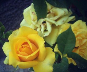 beautiful, yellow, and rose image