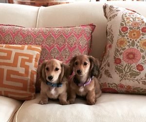 dachshund, interior design, and puppies image