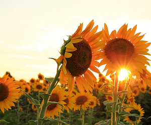 brown, nature, and sunflowers image