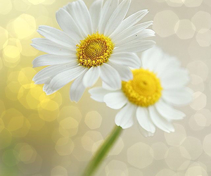 spring, brokeh, and daisies. wall art image