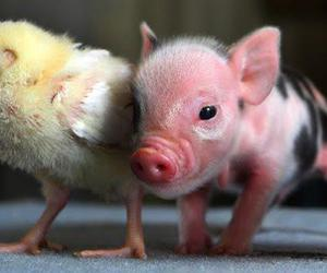 Chicken and mini pig image