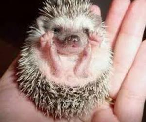 cute, hedgehog, and baby image