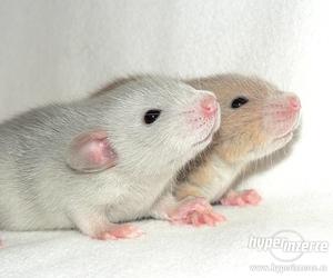 تفسير الفأر في المنام الفار الأسود الأبيض الرمادي في الحلم