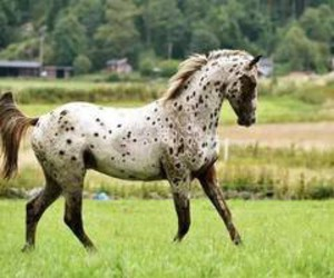 horse and appaloosa image