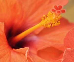 flower, hibiscus, and picture image