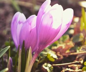 crocus, flower, and spring image