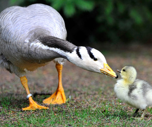 goose, cute, and animals image