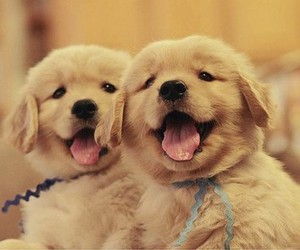 baby, golden, and chiens image