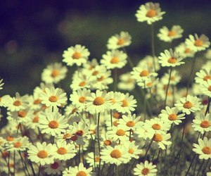 chamomile, yellow and white, and good image