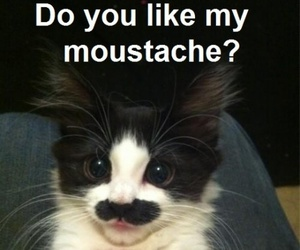 cat, funny, and moustache image