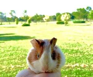 animals, green, and guinea pig image