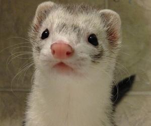 cuteness, ferret, and kawaii image