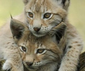 lynx, animal, and cat image