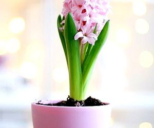 flowers, pink, and hyacinth image