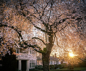 cherry blossom, garden, and house image