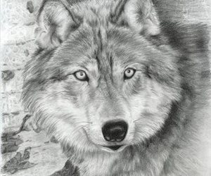wolf, black and white, and draw image