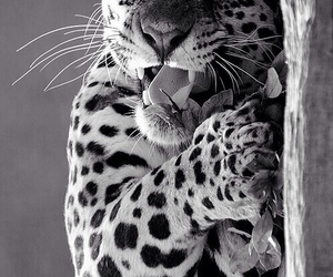 leopard, animal, and nature image