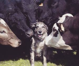 dog and cows image
