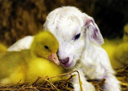 duckling, lamb, and cute image