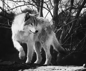 wolf, animal, and photography image