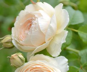 beautiful, blush, and garden image