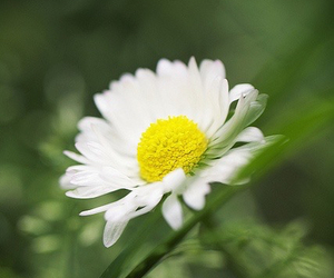 daisy, photography, and spring image