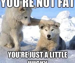 husky, dog, and fat image