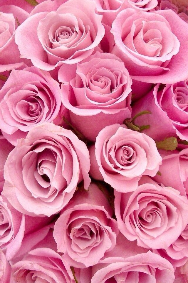 Pink Roses Could Be Used As A Wallpaper And Or Background