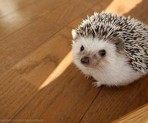animal, hedgehog, and cute image