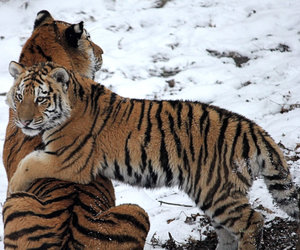 cub, tiger, and tigers image