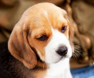 dog, beagle, and puppy image