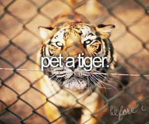 tiger, before i die, and animal image