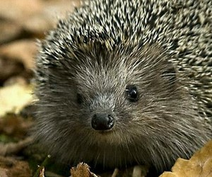 hedgehog, cute, and herisson image