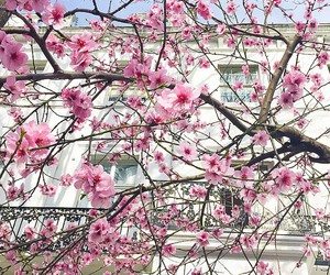 architecture, cherry blossom, and flowers image