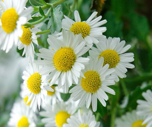 beautiful, daisies, and flowers image